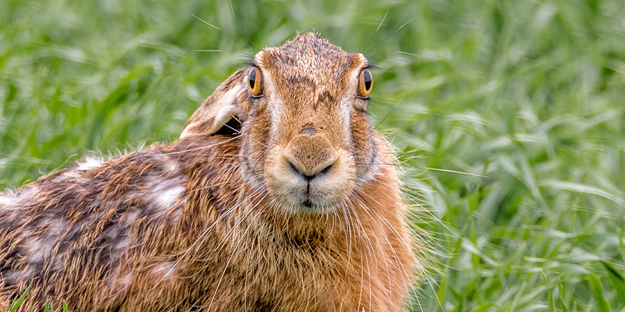 Go Hare mad with the SYWG and Hare Preservation Trust