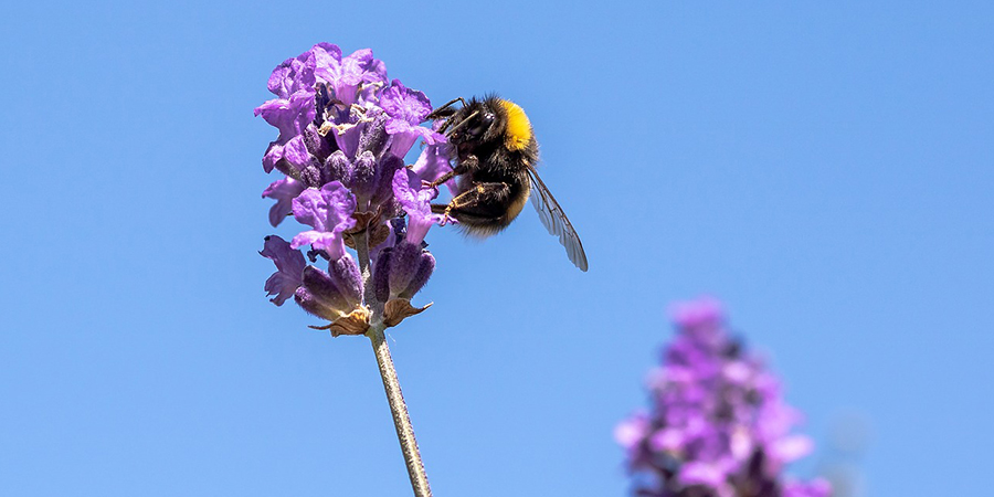 bee lavender living landscapes