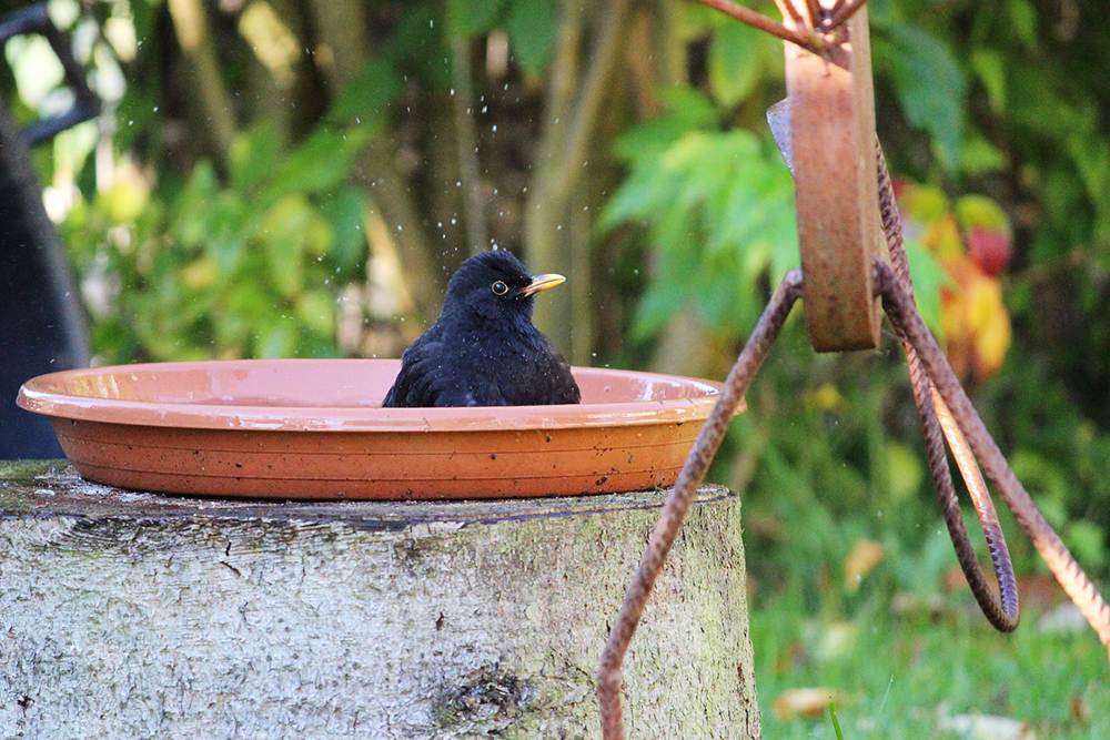 blackbird in bath