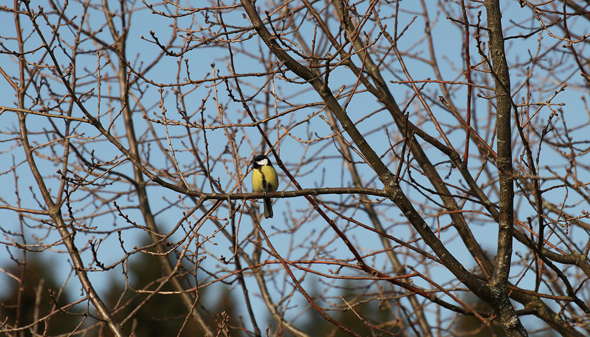 great tit tree