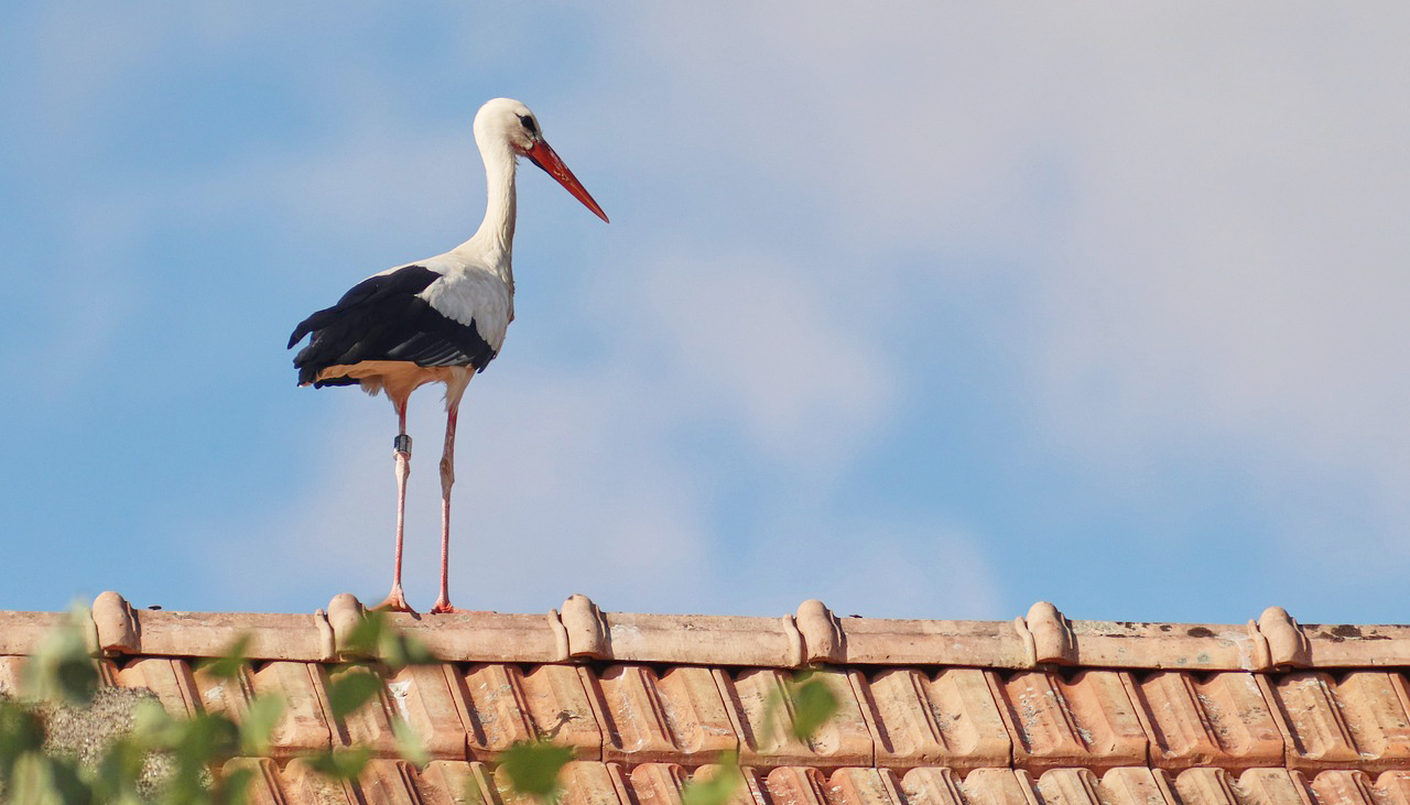 white stork on roof